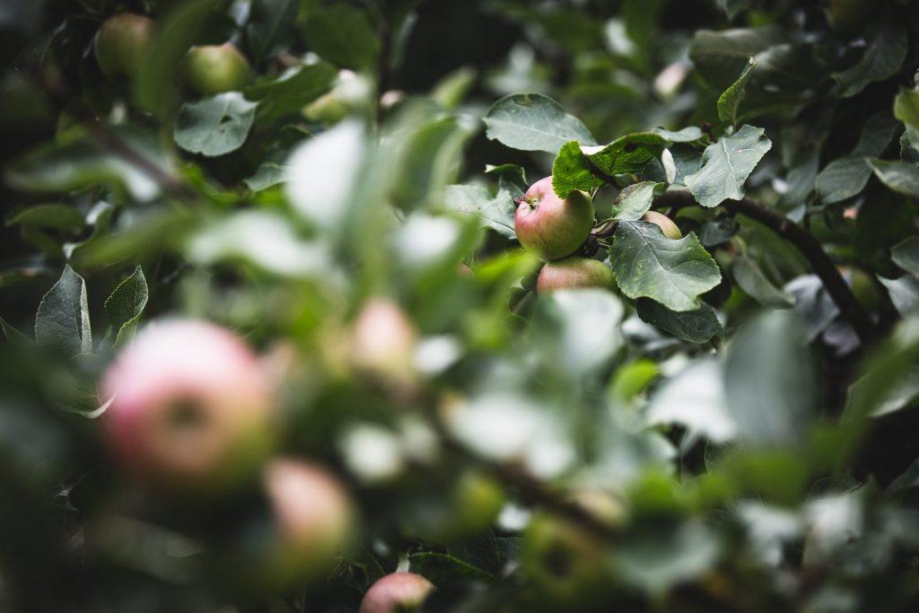 Cultivo de manzanas tratado con Hydretain