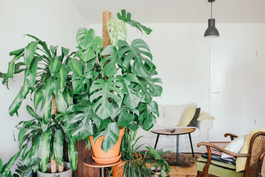 Plantas en macetas grandes a tratadas con Hydretain