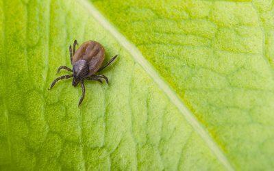 3 plantas que ahuyentarán a pulgas y garrapatas de su jardín