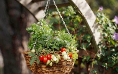 Cómo cultivar tomates en macetas colgantes, en su patio o balcón